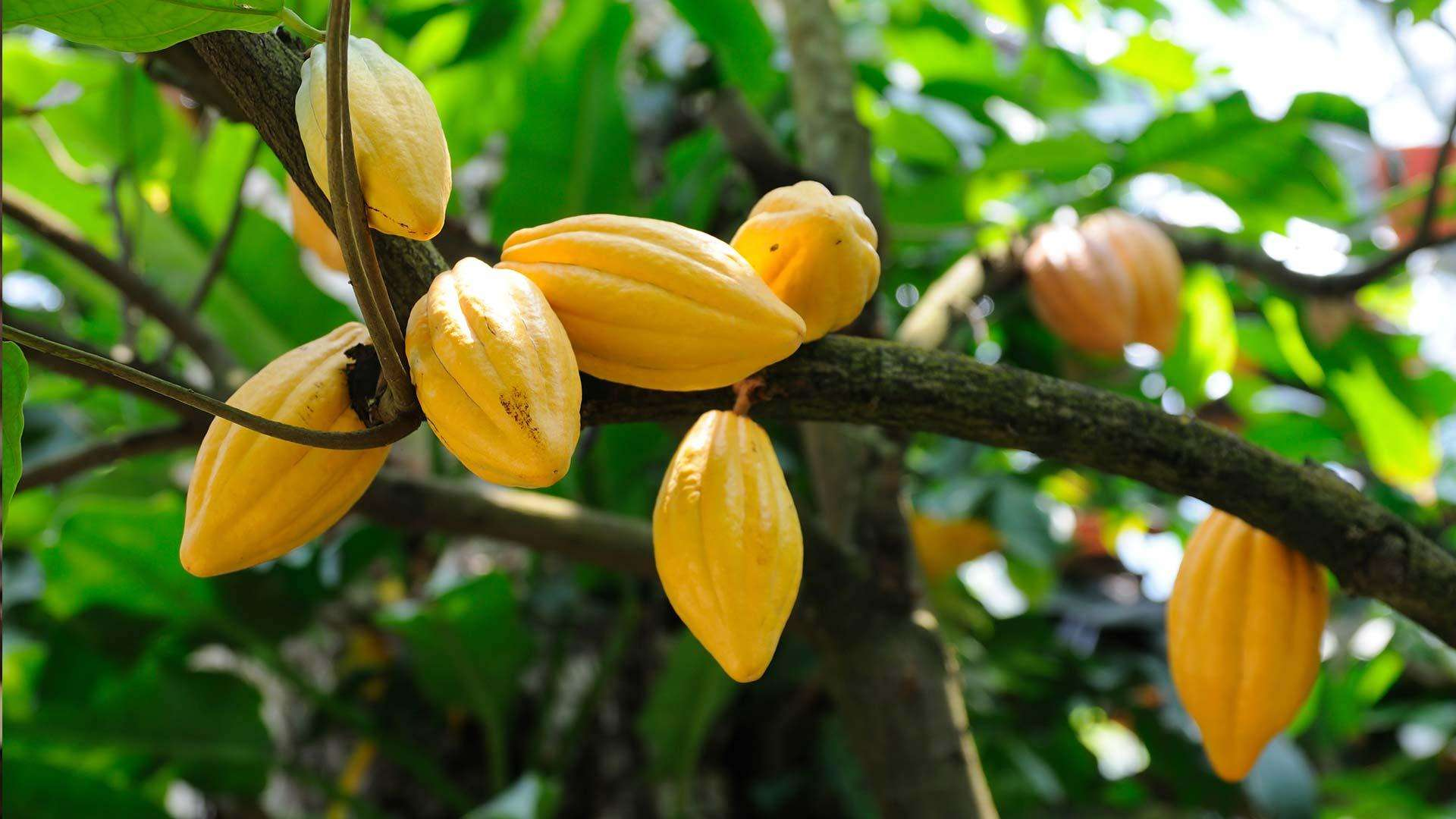 Ensuring that cocoa farming remains a viable profession is vital